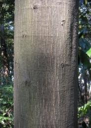 モチ吉、偽カシが何の木か分かった件