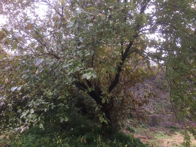 伐採依頼の樹木