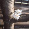 薪からサクラが咲いた!
