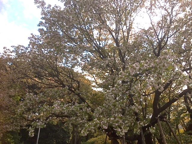 【ヤマザクラの突然変異種】岐阜市芥見の、中将姫誓願桜を見てきた件