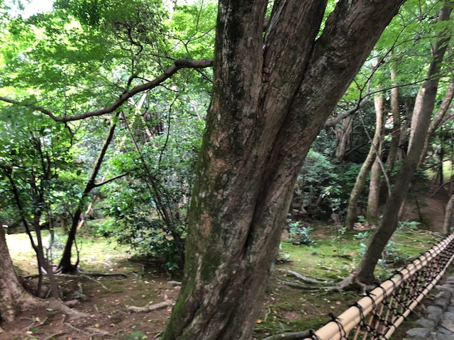 【京都観光1】龍安寺に行く。庭の石は15個。モミジの大木有り