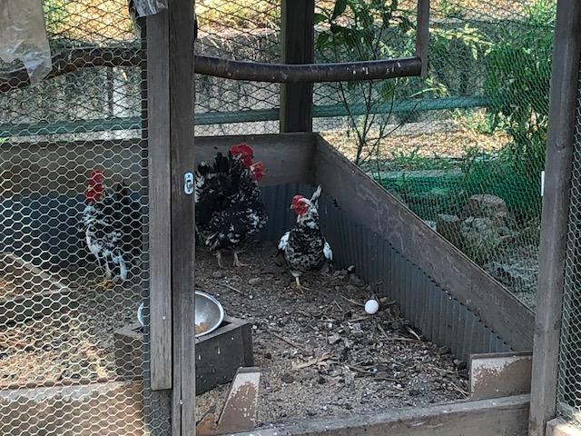 鶏はなんか、元気。熱中症とかにならないのだろうか。