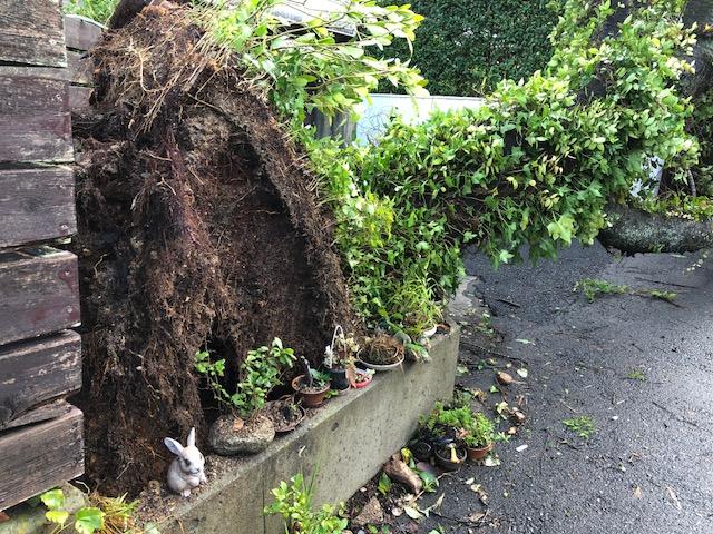 台風後のサクラ