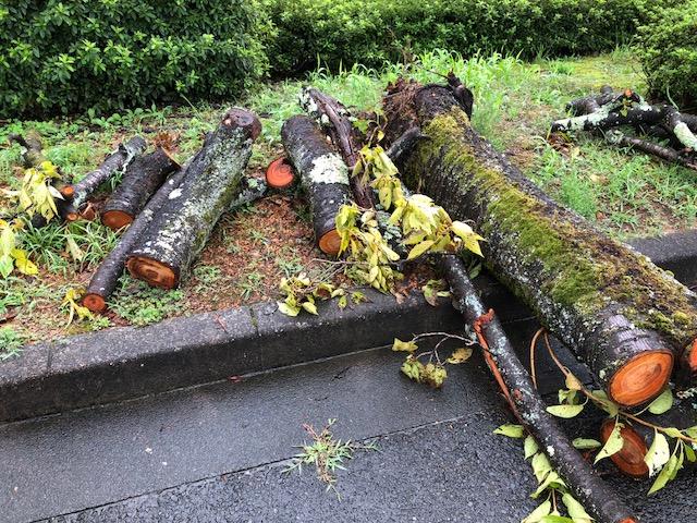 岐阜市ファミリーパークでサクラが倒れていました。