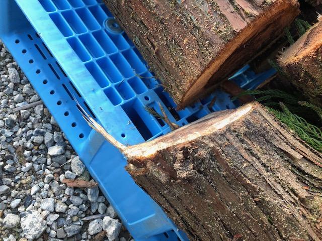 台風21号で倒れた神社の針葉樹をもらう。