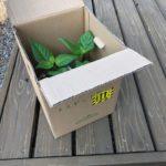 世界最強のトウガラシ「カロライナリーパー」の苗が届く。