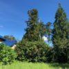 頼まれた現場の木が高い。業者発注だ。