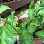 とんがらし芥川で購入した、激辛トウガラシのカロライナリーパーの苗を5月に植えてから実に4ヶ月・・・