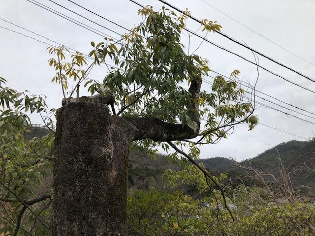 【大径木伐木】地元の先輩とカシを倒す