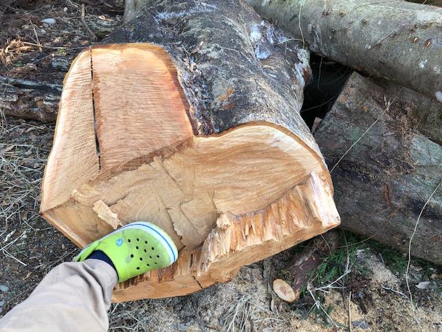 【原木購入】ケヤキの原木、直径80cm以上とか、やたらデカいよ!