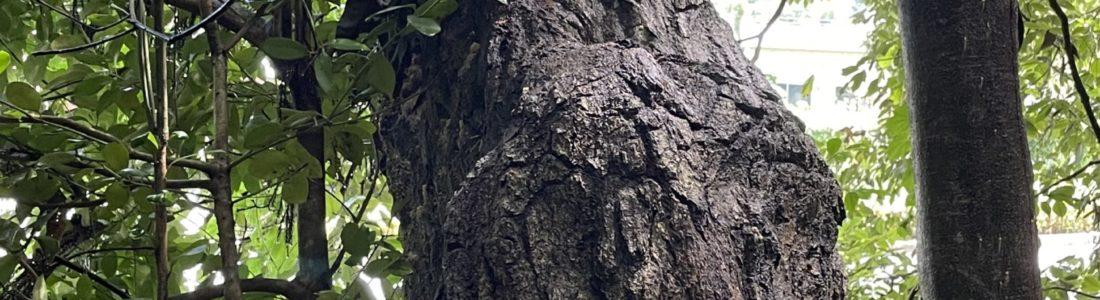 【伐採】立ち枯れの木を切る